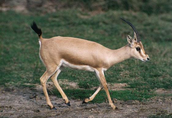 ARKive image GES012984 - Slender-horned gazelle