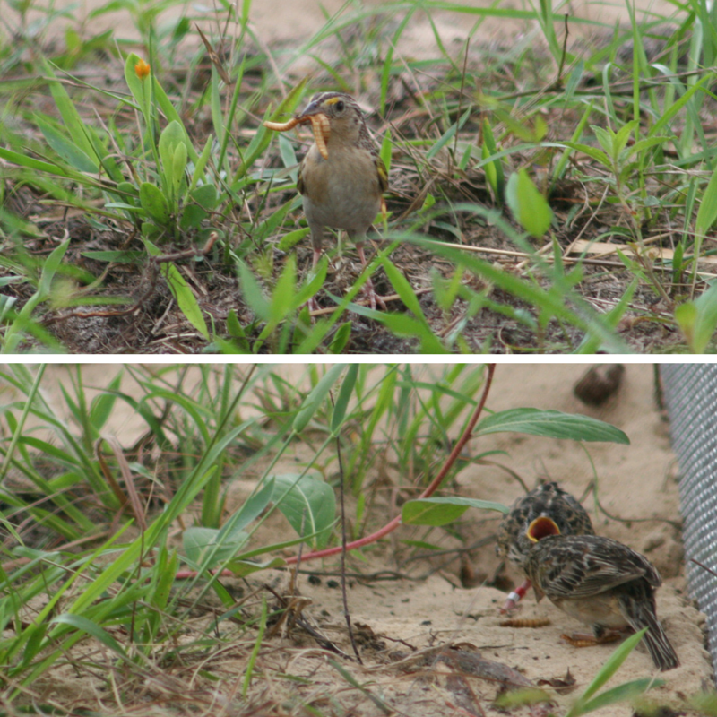 A female grasshopper sparrow feeds her chick mealworms.