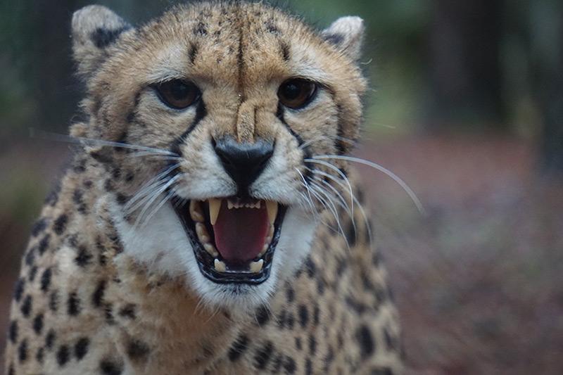 Meet our Cheetahs: Celebrating International Cheetah Day