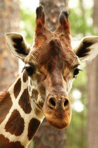 A giraffe closeup
