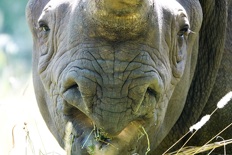 Close up of a black rhino's mouth