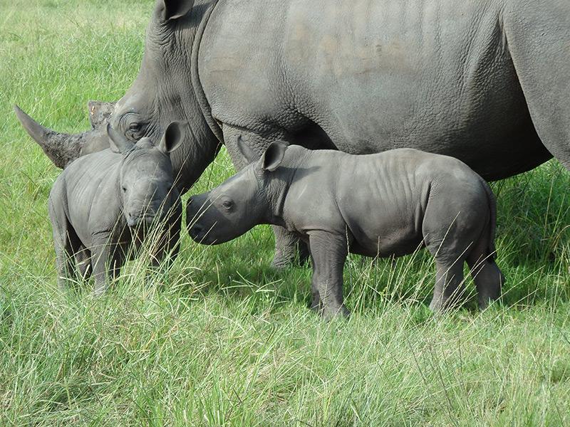 Two Rhino Calves