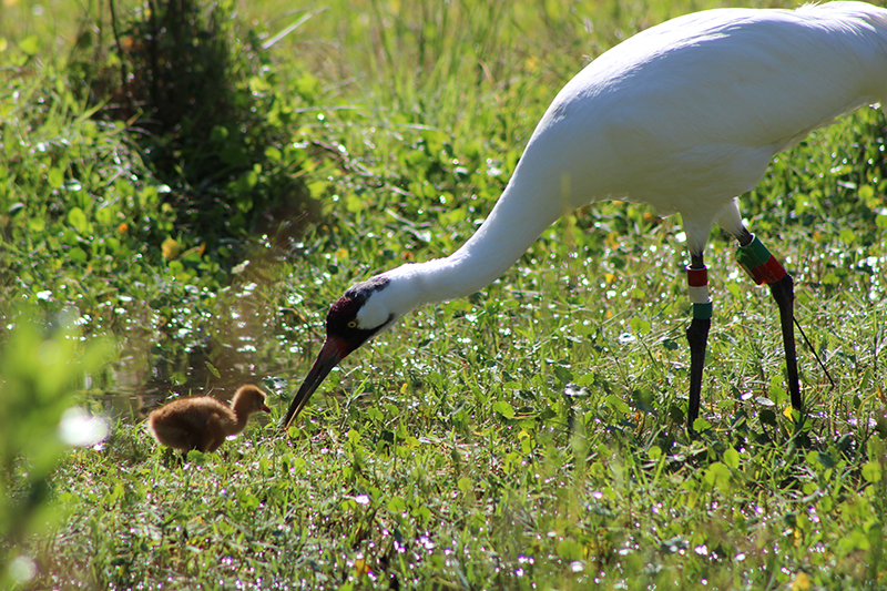 whooping crane parent feeding chick